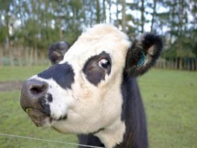Abbott bắt tay Fonterra xây trại bò sữa tại Trung Quốc