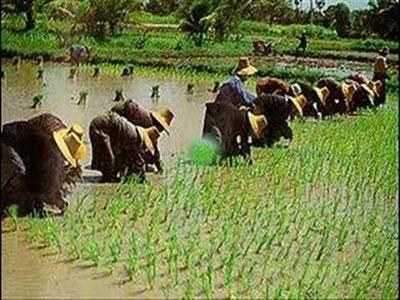 FAO: Giá gạo nội địa châu Á tháng 6 tiếp tục diễn biến trái chiều