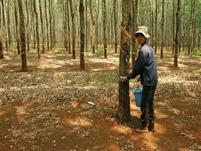 Bộ trưởng Cao Đức Phát: Ngừng trồng mới cây cao su
