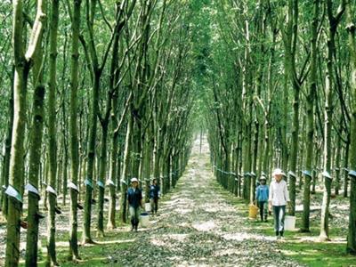 Hướng dẫn miễn thuế TNCN cho người trồng cao su
