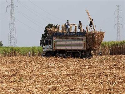 Dự báo sản lượng đường Thái Lan đạt kỷ lục