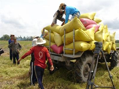 Giá gạo thơm xuất khẩu trở lại mức trên 605 USD/tấn