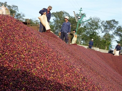 Giá cà phê Tây Nguyên lại giảm về 39,1-40,1 triệu đồng/tấn