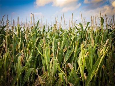 Giá ngô giảm tháng thứ 3 do vụ mùa Mỹ bội thu