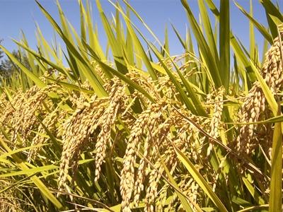 Xuất khẩu gạo Ấn Độ năm 2013-2014 đạt 7,78 tỷ USD