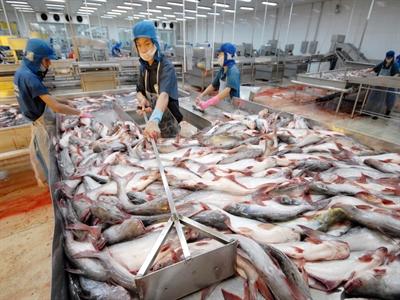 Giá cá tra nguyên liệu tăng lên 21.500 đồng/kg