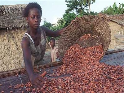 Giá cacao lên cao nhất 3 năm khi sức mua tăng