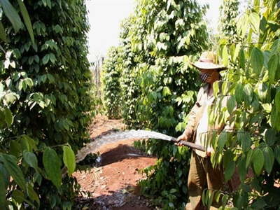 Chặt cao su trồng tiêu nên cẩn trọng