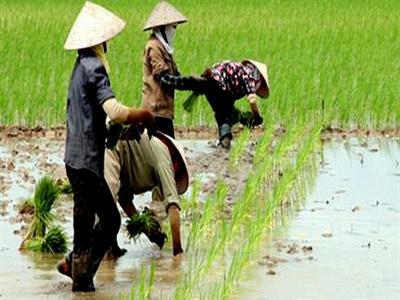 Trồng lúa nước được hỗ trợ 500.000 đồng/ha/năm