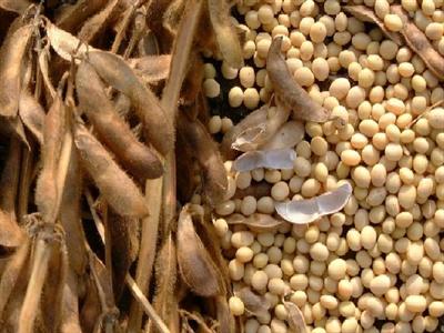 Giá đậu nành giảm khi dự báo có mưa tại vùng Midwest, Mỹ
