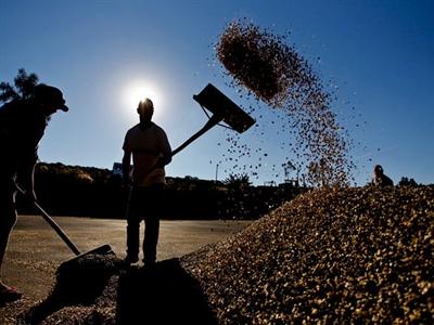 Giá cà phê Tây Nguyên giảm tiếp xuống 38,2-39,2 triệu đồng/tấn
