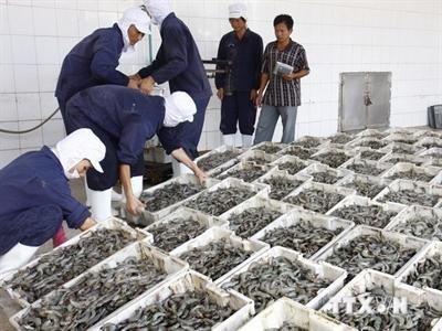 Nhà nông, doanh nghiệp hợp tác phát triển tôm nguyên liệu sạch