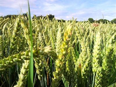 Giá lúa mỳ tăng mạnh nhất hơn 3 tháng do căng thẳng Ukraine