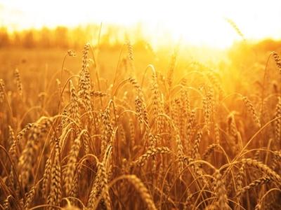 Giá lúa mỳ giảm mạnh nhất trong tuần trước dấu hiệu nguồn cung dồi dào