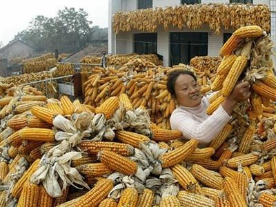 Trung Quốc: Sản lượng ngô giảm lần đầu tiên từ 2009 do khô hạn