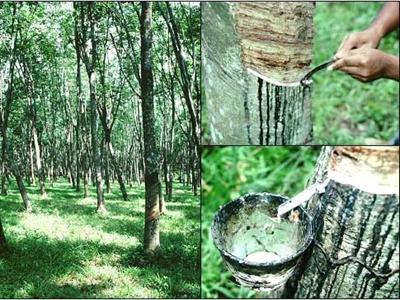 Đắk Lắk khuyến cáo nông dân không chuyển đổi cao su sang cây trồng khác