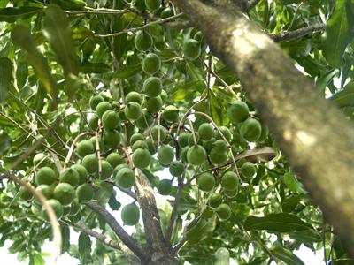 Macca: Cây trồng tiềm năng của Việt Nam