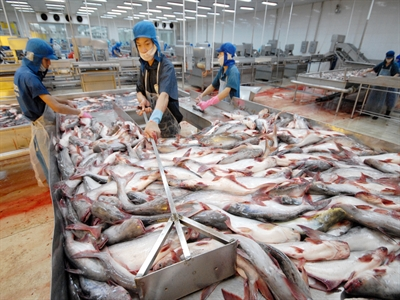 Giá cá tra tiếp tục tăng