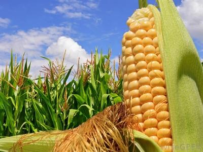 Giá ngô, lúa mỳ giảm trước dự báo sản lượng đạt kỷ lục