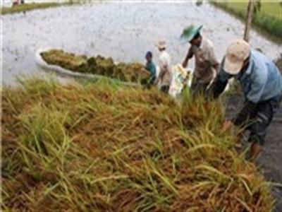 Lũ về sớm, hơn 200 ha lúa vụ 3 ở ĐBSCL bị thiệt hại