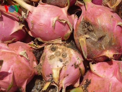Nấm bệnh gây thiệt hại nặng cho nông dân trồng thanh long Bình Thuận