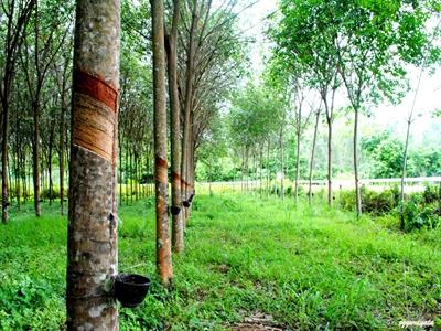 Thái Lan khuyến khích nông dân cao su chuyển đổi cây trồng
