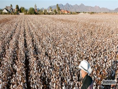 Giá bông giảm trước viễn cảnh vụ mùa Mỹ bội thu