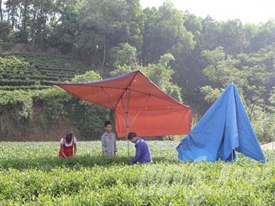 Nông dân Thái Nguyên không bán nguyên liệu trà xanh C2 Ô Long cho URC