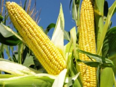Nhà đầu tư rút khỏi ETP nông sản trước đồn đoán vụ mùa bội thu