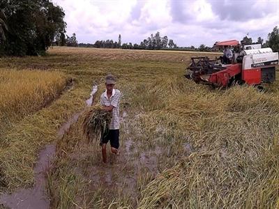 Mưa, lũ làm tăng chi phí, giảm năng suất lúa ở ĐBSCL