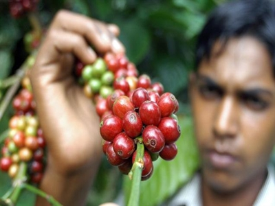 Xuất khẩu cà phê Ấn Độ 8 tháng giảm 5,5%