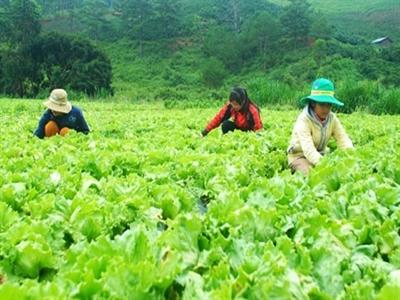 Người Nhật Bản sang Lâm Đồng trồng xà lách