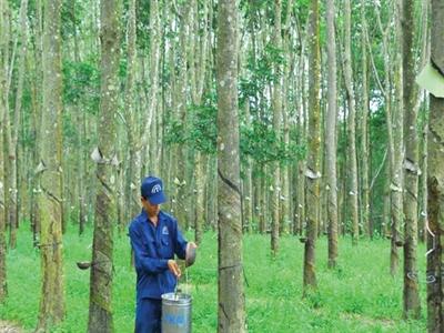 Cao su Đồng Phú lãi gộp 8 tháng gần 142 tỷ đồng, đạt 57% kế hoạch năm
