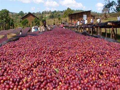 Tỷ phú dầu mỏ đầu tư 500 triệu USD vào cà phê và cam ở Ethiopia