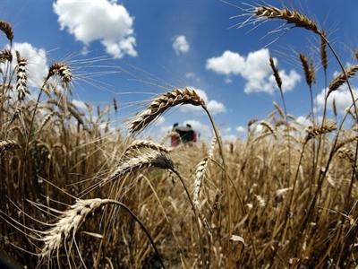 Sản lượng lúa mỳ toàn cầu dự báo đạt kỷ lục 717 triệu tấn