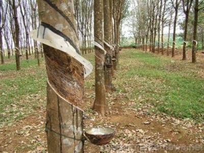 Nông dân cao su Đông Nam Á ngừng khai thác mủ do giá giảm