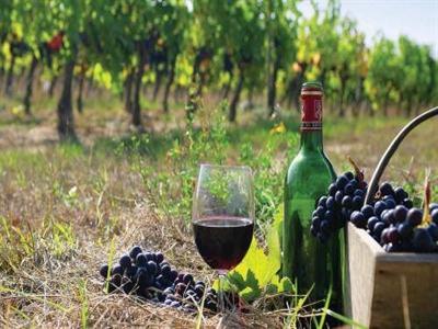 Sản lượng rượu vang Pháp tăng 10% nhờ Bordeaux hồi phục