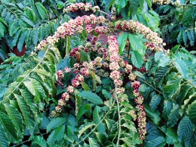 Giá cà phê Tây Nguyên giảm tiếp xuống 40,6-41,7 triệu đồng tấn