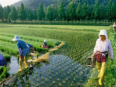 Hàn Quốc mua 180.000 tấn gạo hạn chế dư cung trên thị trường nội địa