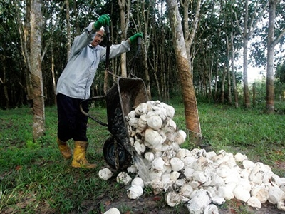Thái Lan: Nông dân cao su sẽ sớm nhận được hỗ trợ