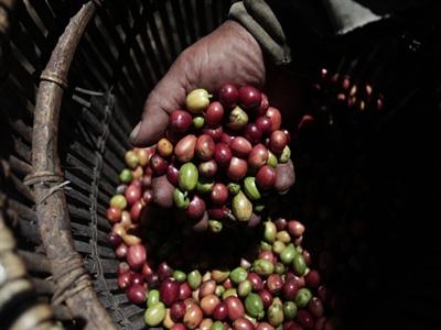 Sản lượng cà phê Indonesia dự đoán đạt kỷ lục 650.000 tấn nhờ có mưa