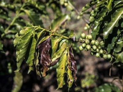 Những cơn mưa muộn có cứu được cà phê Brazil?