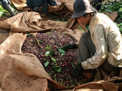 Kiến nghị tạm trữ 200.000 tấn cà phê hỗ trợ giá cho nông dân