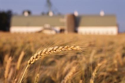Sản lượng lúa mỳ năm 2015 của Nga dự báo giảm 15%