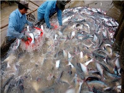 Giá cá tra tăng nhẹ, người nuôi có lãi