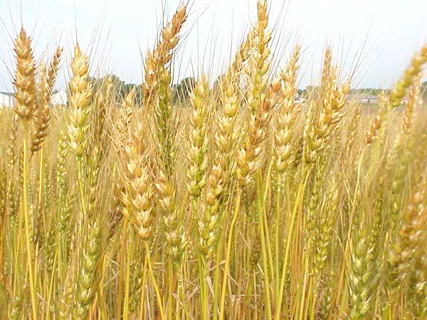 Lúa mỳ Nga gặp khó do thiếu mưa