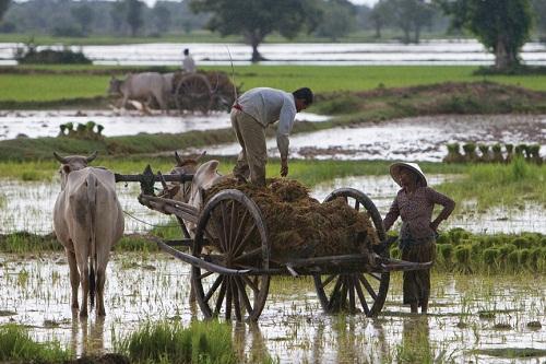 ADB: Ngành lúa gạo Campuchia gặp khó do thiếu hệ thống thủy lợi và nhà máy xay xát hiệu quả