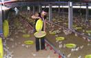 Gà công nghiệp: tảng thịt trị giá 12.000 tỉ đồng