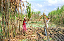 Nông dân góp cổ phần bằng đất