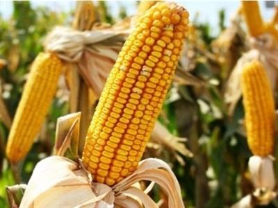 FAO: Giá lương thực toàn cầu tháng 10 giảm 7 tháng liên tiếp